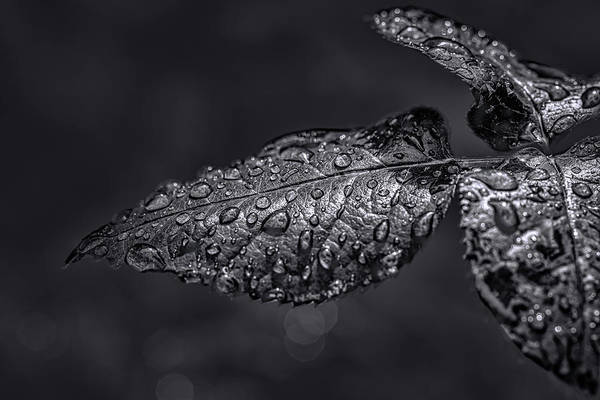 Photograph - Green Droplets Bw. #g3 by Leif Sohlman