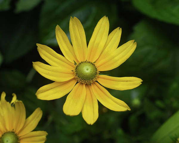Photograph - Green Eyed Daisy by Sally Sperry