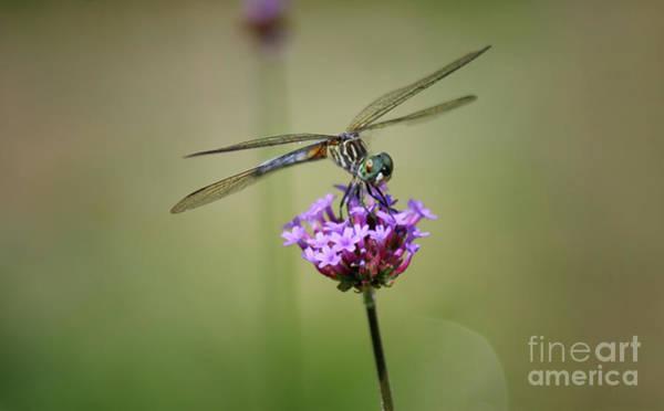 Photograph - Green-eyed Dragonfly by Karen Adams
