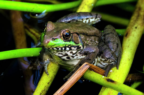 Photograph - Green Frog Lithobates Clamitans by Greg Reed