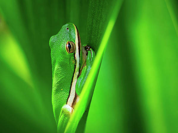 Photograph - Green Frog In Vegetation by Brad Boland