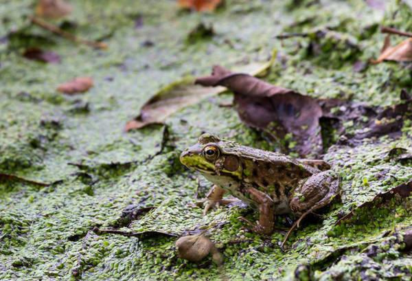 Photograph - Green Frog by Michael Chatt