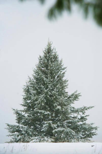 Photograph - Green Fir Tree by Alana Ranney
