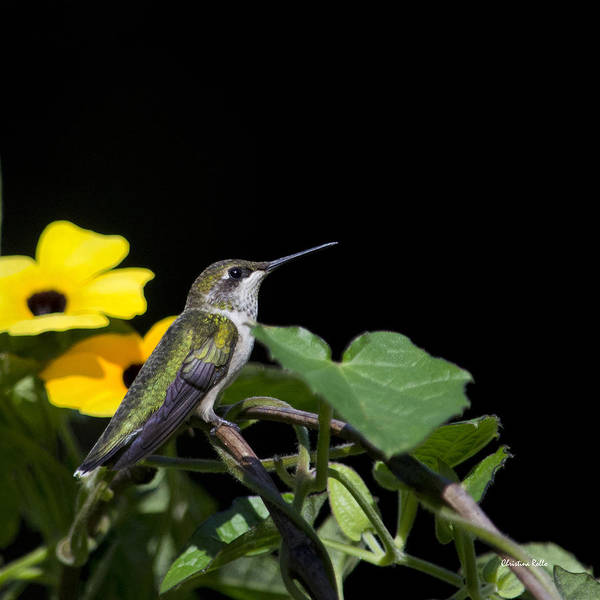 Photograph - Green Garden Jewel Hummingbird Square by Christina Rollo