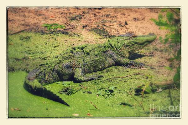Photograph - Green Gator With Border by Carol Groenen