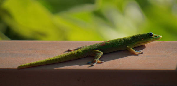 Photograph - Green Gecko by Pamela Walton