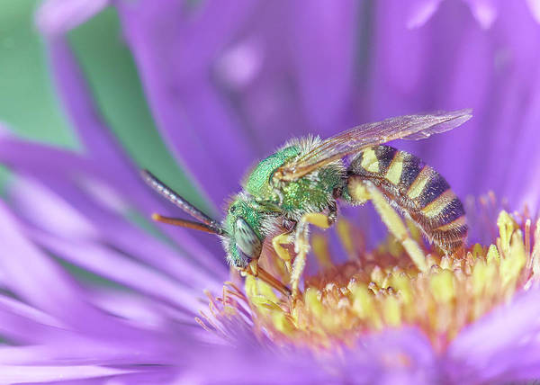 Pollinator Wall Art - Photograph - Green Halactid Bee  Agapostemon Virescens by Jim Hughes