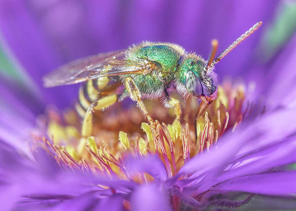Pollinator Wall Art - Photograph - Green Halactid Bee On Purple Aster by Jim Hughes