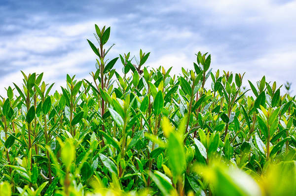 Photograph - Green Hedge by Fabrizio Troiani