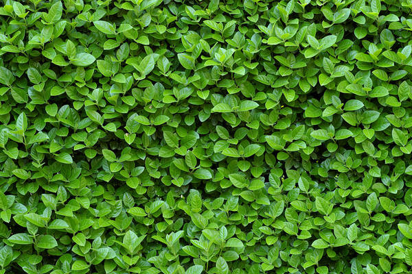 Wall Art - Photograph - Green Hedge by Frank Tschakert
