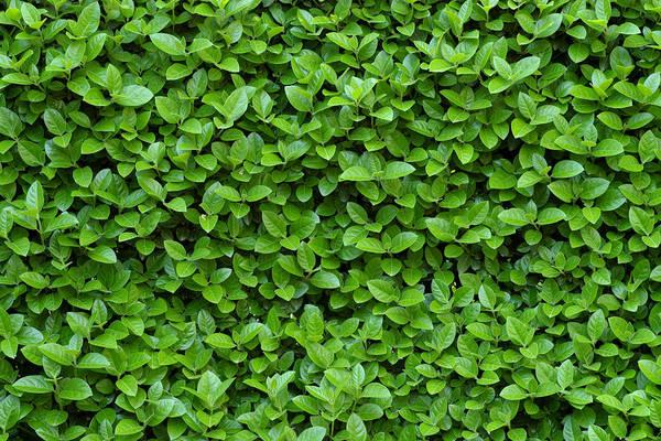 Wall Art - Photograph - Green Hedge by Frank Tschakert
