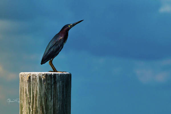 Photograph - Green Heron 2 Of 6 by Susan Molnar