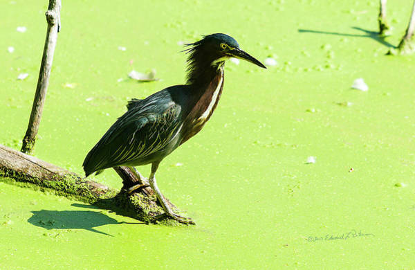 Photograph - Green Heron Hunting by Edward Peterson