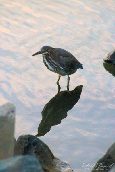 Photograph - Green Heron In Pink Waters by Robert Banach