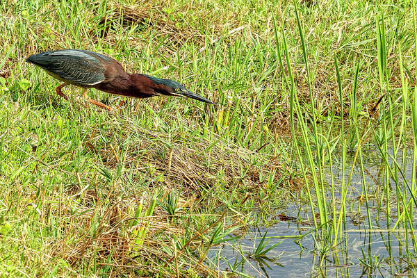 Photograph - Green Heron by Kay Brewer