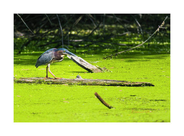 Photograph - Green Heron On A Log by Edward Peterson