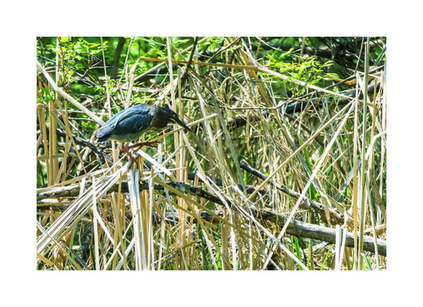 Photograph - Green Heron Perching by Edward Peterson