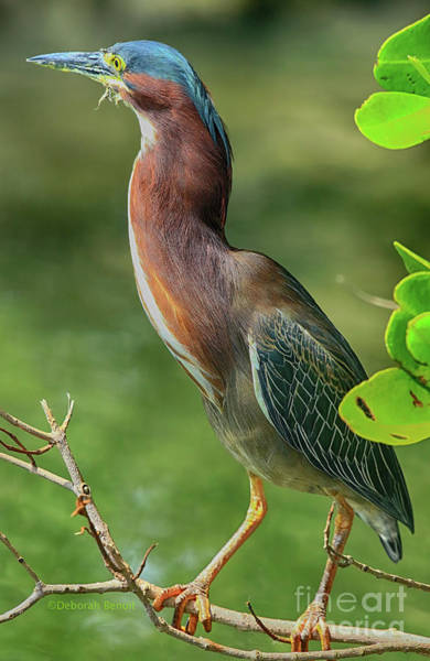 Photograph - Green Heron Pose by Deborah Benoit
