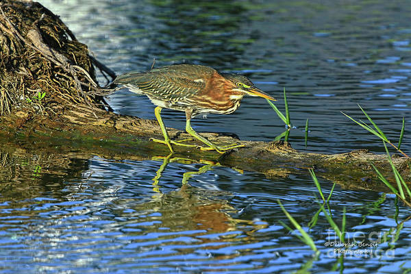 Photograph - Green Heron Prowl by Deborah Benoit