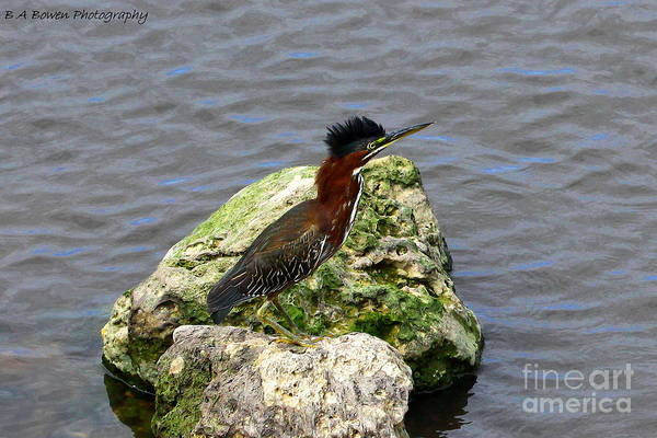Photograph - Green Heron Ruffled Feathers by Barbara Bowen