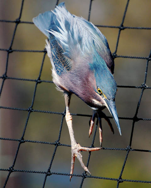 Photograph - Green Heron Striking A Pose by Donna Proctor