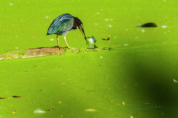 Photograph - Green Heron Success by Edward Peterson