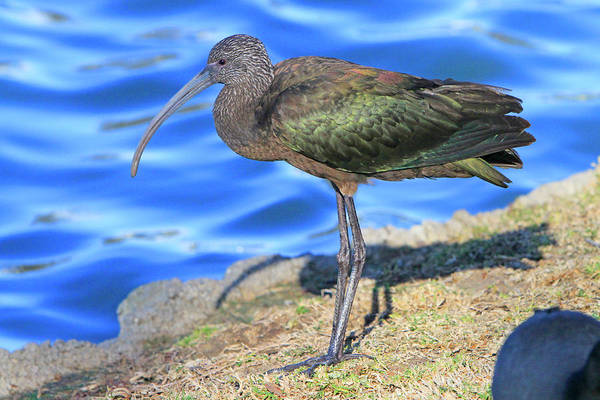 Wall Art - Photograph - Green Ibis 10 by Shoal Hollingsworth