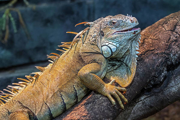 Photograph - Green Iguana by Arterra Picture Library