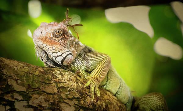 Photograph - Green Iguana Costa Rica II by Joan Carroll
