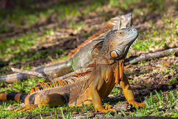 Photograph - Green Iguana by Ed Gleichman