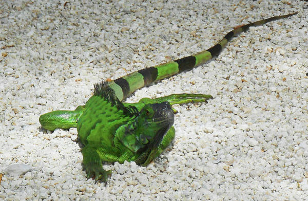 Iguana Photograph - Green Iguana by Irina Sztukowski