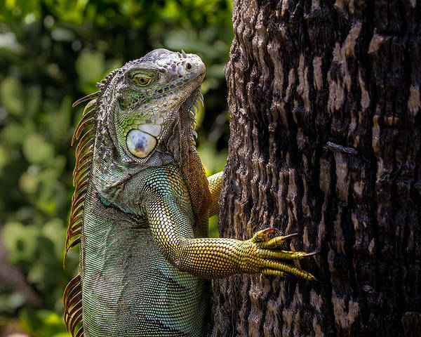 Photograph - Green Iguana by Ron Pate