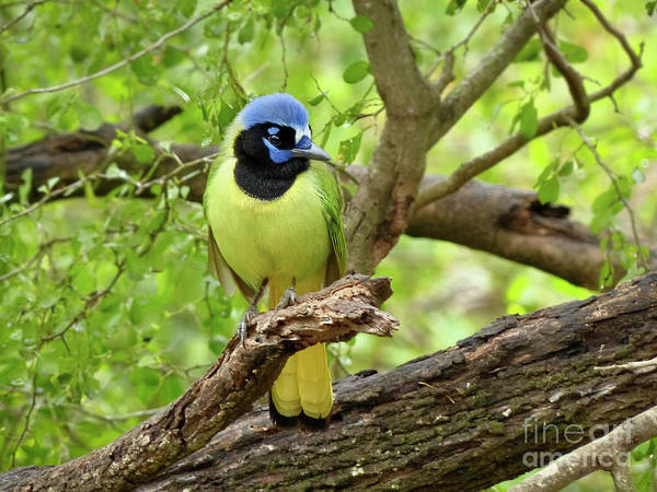 Misson Photograph - Green Jay #4 by Teresa A and Preston S Cole Photography
