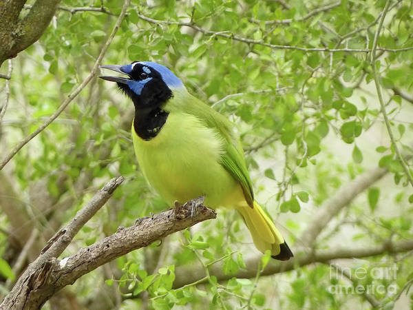 Misson Photograph - Green Jay #3 by Teresa A and Preston S Cole Photography