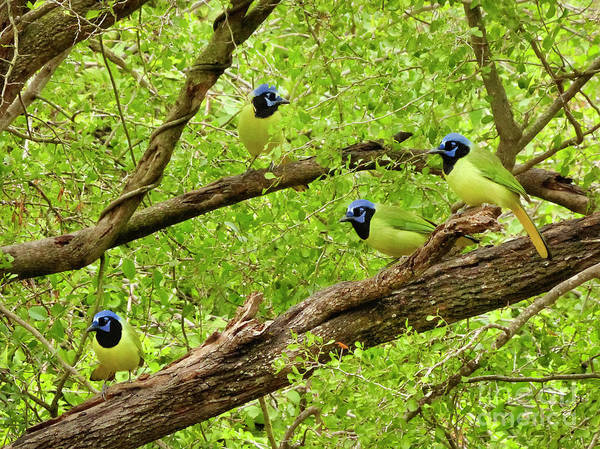 Misson Photograph - Green Jays #1 by Teresa A and Preston S Cole Photography
