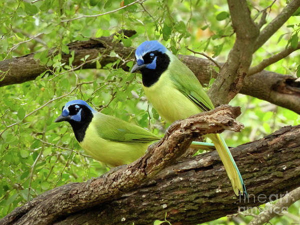 Misson Photograph - Green Jays #2 by Teresa A and Preston S Cole Photography