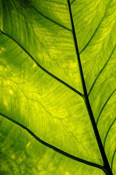 Allerton Garden Photograph - Green Leaf by Alan Hart