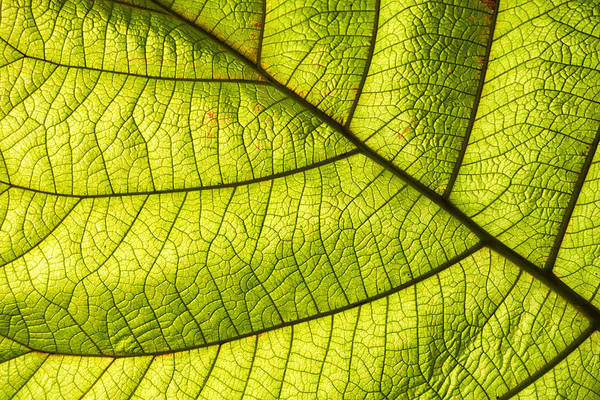 Photograph - Green Leaf Closeup by Matthias Hauser