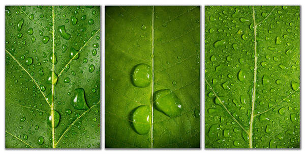Founded Photograph - Green Leaf Triptych by Steve Gadomski