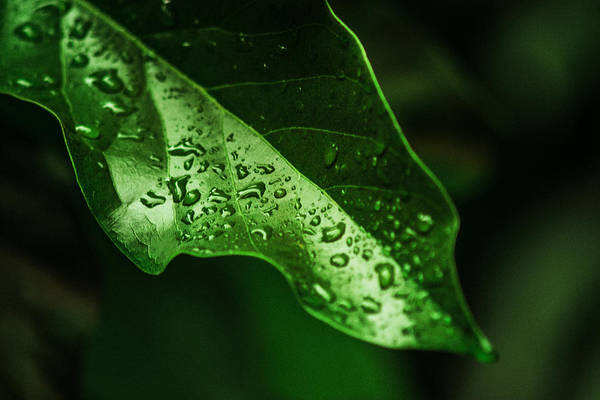 Gota Photograph - Green Leaf With Raindrops by Totto Ponce
