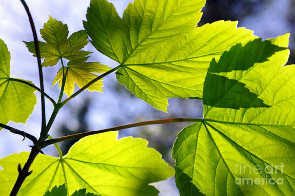 Back Light Photograph - Green Leaves by Carlos Caetano