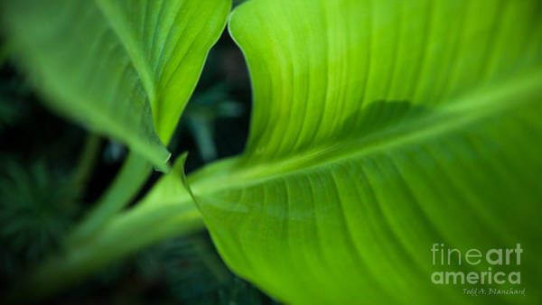 Photograph - Green Leaves No. 1 by Todd Blanchard