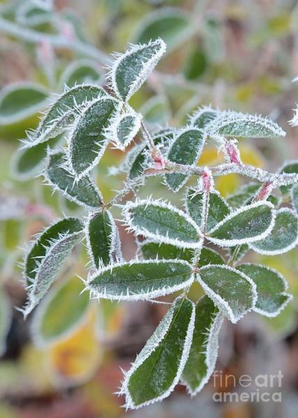Wall Art - Photograph - Green Leaves With Hoarfrost by Carol Groenen