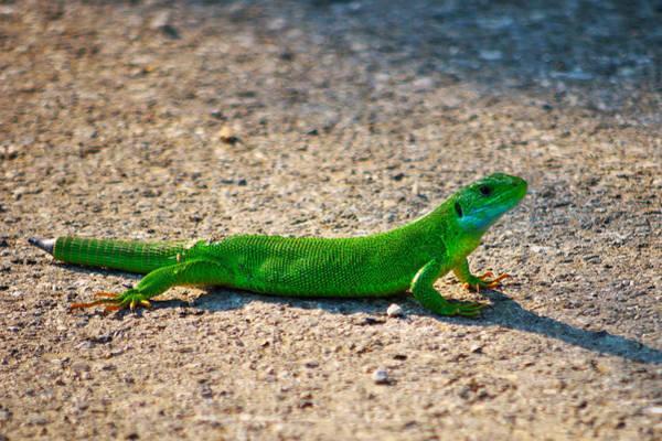 Photograph - Green Lizard by Ivan Slosar