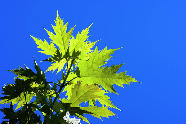 Photograph - Green Maple Leaves by Robert Potts