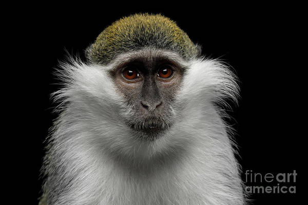 Photograph - Green Monkey by Sergey Taran