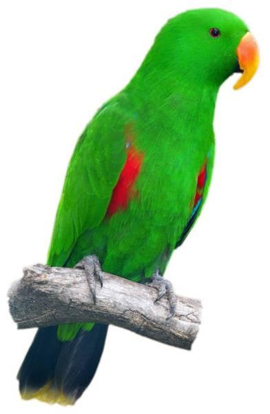 Eclectus Parrots Photograph - Green Parrot by George Atsametakis
