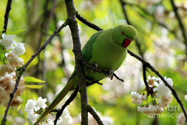 Wall Art - Photograph - Royal Green Parrot by Hanni Stoklosa