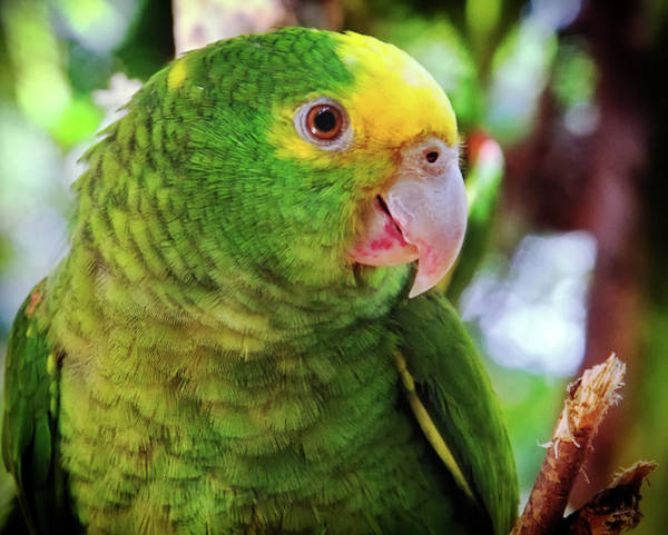 Photograph - Green Parrot by Tatiana Travelways