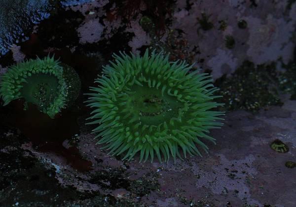 National Aquarium Photograph - Green Sea Anenome by Dan Sproul